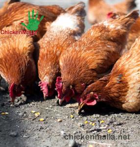 Producción de gallinas.